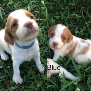 Brittany PUPPY FOR SALE ADN-86753 - AKC Brittany puppies
