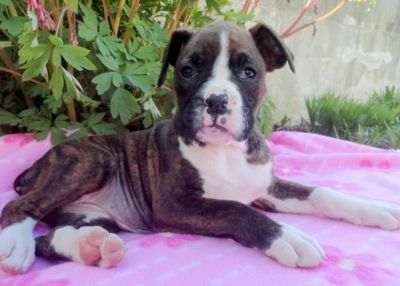 Boxer PUPPY FOR SALE ADN-76479 - Boxer Puppy for Sale