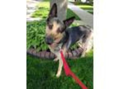 Adopt Chewy a Tan/Yellow/Fawn German Shepherd Dog / Mixed dog in Oak Pak