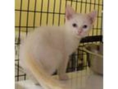 Adopt Quartz a Siamese, Domestic Short Hair