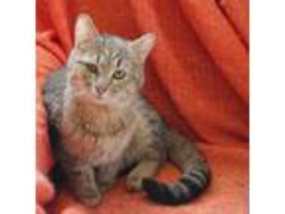 Adopt Chervil a Tan or Fawn Tabby Domestic Shorthair (short coat) cat in