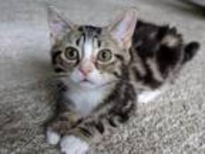 Adopt Joey a Spotted Tabby/Leopard Spotted Bengal (medium coat) cat in