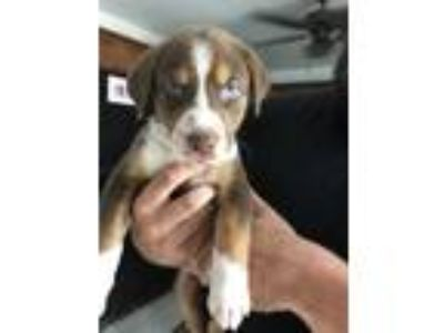 Adopt Mauricd a Brown/Chocolate - with White Labrador Retriever / Mixed dog in
