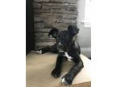 Adopt Nipsy a Black Pit Bull Terrier / German Wirehaired Pointer / Mixed dog in