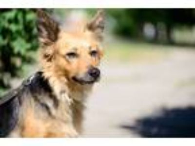 Adopt Bonya a Black - with Tan, Yellow or Fawn German Shepherd Dog / Border