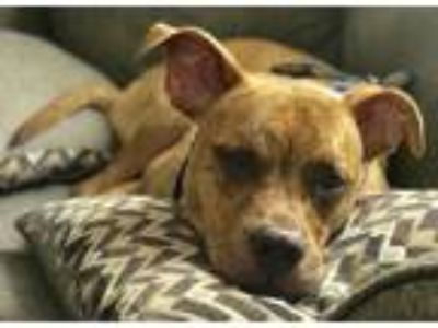 Adopt Bowzer a Brindle Boxer / Pit Bull Terrier / Mixed dog in Clarkston