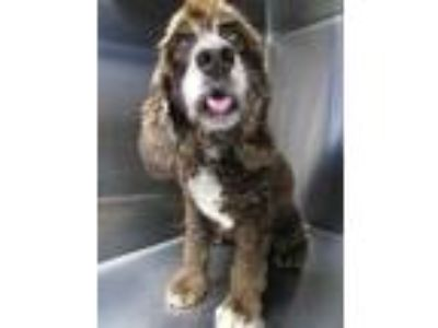 Adopt Koko (See Memo) a Brown/Chocolate Poodle (Miniature) / Cocker Spaniel /