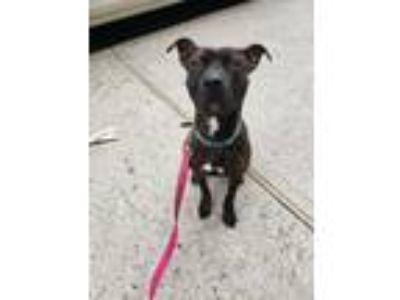 Adopt Rain a Pit Bull Terrier, Shepherd