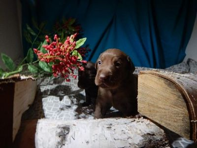 AKC CHOCOLATE LABRADOR RETREVER PUPPIES. Sire tested OFA Excellence