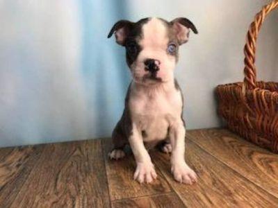 Dash Male Boston Terrier ACA