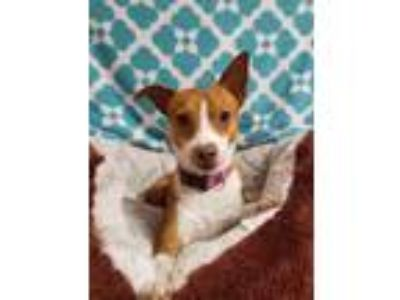Adopt Larson a Tan/Yellow/Fawn - with White Terrier (Unknown Type