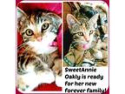 Adopt ANNIE OAKLEY a Tiger Striped American Shorthair (medium coat) cat in