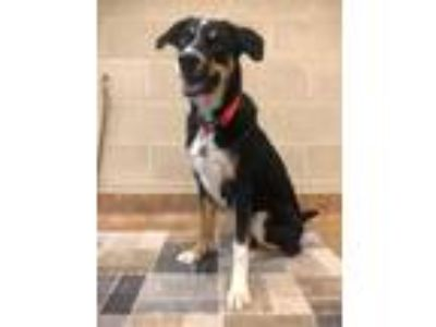 Adopt Ozzy a Black Border Collie / Hound (Unknown Type) / Mixed dog in Reno