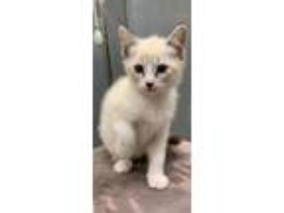 Adopt 41732475 a Cream or Ivory Siamese / Domestic Shorthair / Mixed (short
