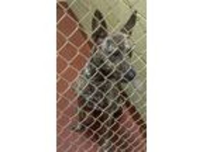 Adopt a Shepherd (Unknown Type) / Mixed dog in Covington, GA (25887526)