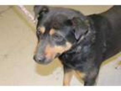 Adopt Fred a Black Australian Cattle Dog / Mixed dog in Albany, OR (25179427)