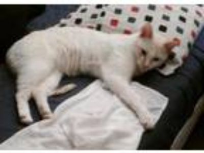 Adopt Frankie a White (Mostly) Siamese / Mixed (short coat) cat in Cherry