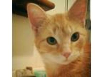 Adopt Butters a Orange or Red American Shorthair / Mixed cat in Richmond