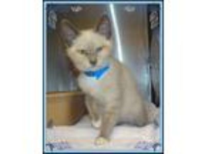 Adopt SABER - avail 7/23 a Cream or Ivory Siamese (short coat) cat in Marietta
