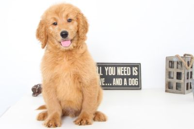 Goldendoodle PUPPY FOR SALE ADN-99507 - Kade Perfect Male Goldendoodle Puppy