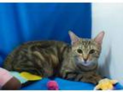 Adopt Sadie a Brown Tabby Domestic Shorthair / Mixed (short coat) cat in