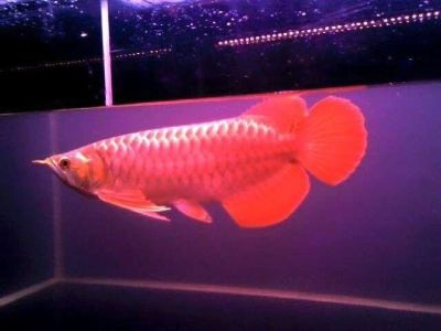 BUY GRAD A AROWANA FISHES TEXT 339-970-9126