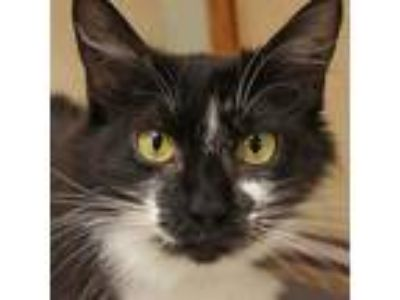 Adopt Dottie *Available Monday 7/15 a All Black Domestic Mediumhair / Domestic