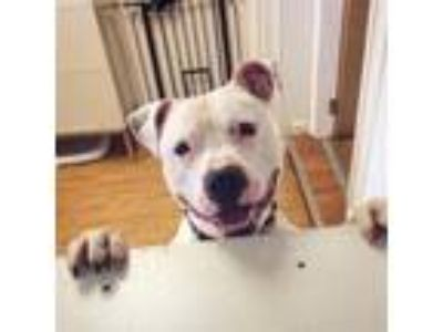 Adopt Rocco a Pit Bull Terrier / Mixed dog in Madison, NJ (25342486)