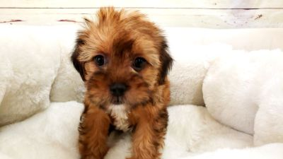 Shorkie Puppy - Female - Mindy ($1,250)