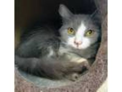 Adopt Heaven a Gray or Blue Domestic Longhair / Domestic Shorthair / Mixed cat