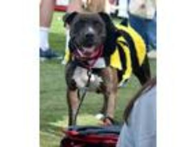 Adopt Lilly Sophia a American Staffordshire Terrier, Labrador Retriever