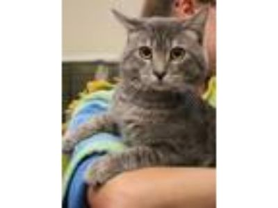 Adopt Snowball Harper Maguire a Gray, Blue or Silver Tabby Domestic Shorthair