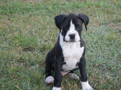 Boxer PUPPY FOR SALE ADN-88382 - AKC CHAMPION BLOODLINE BOXER PUPS