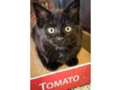 Adopt Stormy a All Black Domestic Shorthair / Domestic Shorthair / Mixed cat in