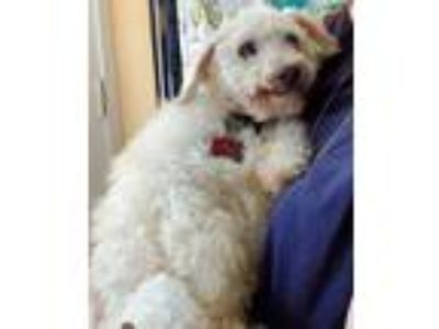 Adopt Max a Poodle