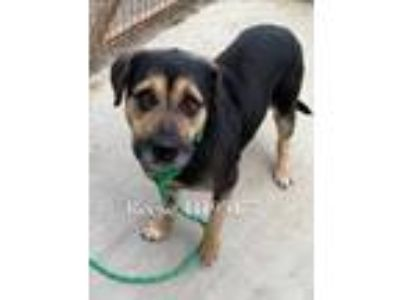Adopt Reese a Black American Pit Bull Terrier / Shepherd (Unknown Type) / Mixed