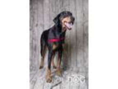 Adopt Maximus a Doberman Pinscher