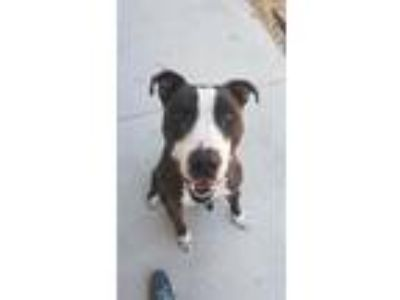 Adopt DENALI a Brindle - with White American Pit Bull Terrier / Mixed dog in