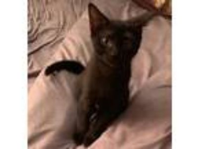 Adopt Maya a All Black Domestic Shorthair (short coat) cat in Gilbert