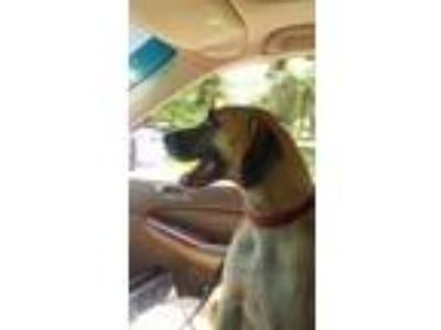 Adopt LACEY a Black Mouth Cur, Hound