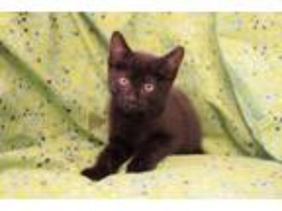 Adopt Stormer a All Black Domestic Shorthair / Mixed cat in Westmont