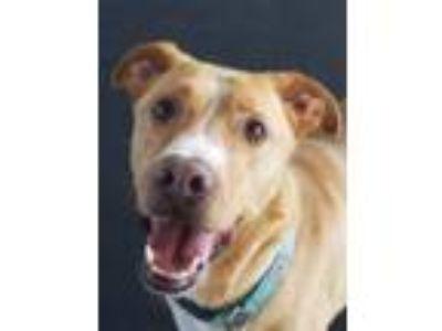 Adopt Remi a Labrador Retriever