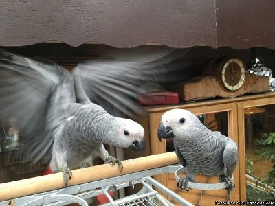 Sweet and lovely African grey parrots for good homes