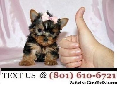 Respectful Yorkie Puppies Available Now