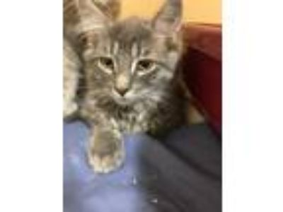 Adopt Harrison a Domestic Long Hair, Domestic Short Hair