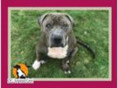 Adopt RUSSE a Pit Bull Terrier