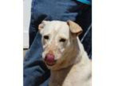 Adopt Pippi Guinevere Longstocking a Tan/Yellow/Fawn - with White Labrador