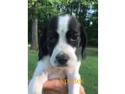 Adopt Spades a Black - with White Beagle / Mixed dog in Jetersville