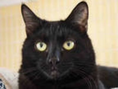 Adopt OZZY a Black (Mostly) Domestic Shorthair / Mixed (short coat) cat in