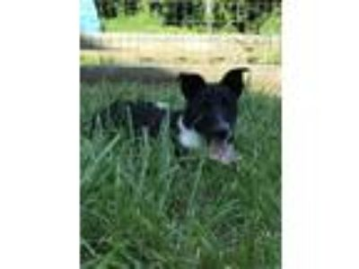 Adopt Scout a Black - with White Border Collie / Terrier (Unknown Type